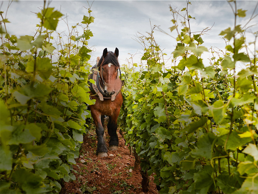 horse-in-the-vineyard